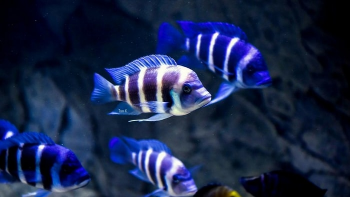 Cyphotilapia frontosa in gruppo