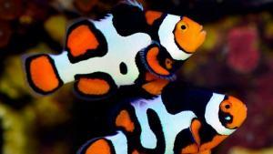 pesce pagliaccio percula picasso