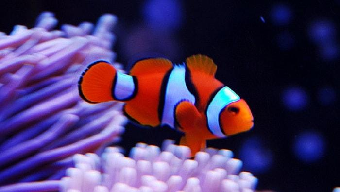 Dove Vive Il Pesce Pagliaccio.Vero Pesce Pagliaccio Percula Il Pesce Pagliaccio Per Eccellenza