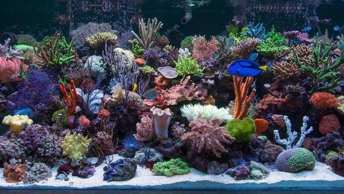 guida coralli in acquario marino