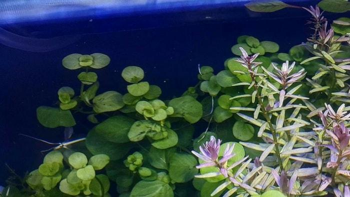 Lysimachia nummularia in acquario