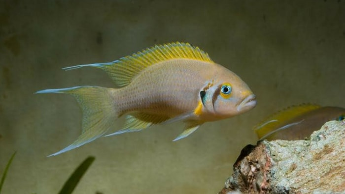 Neolamprologus gracilis
