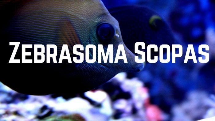 Zebrasoma scopas pesce chirurgo