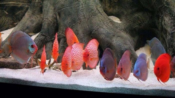 Substrato ideale discus ecco quale scegliere per il re dell acquario