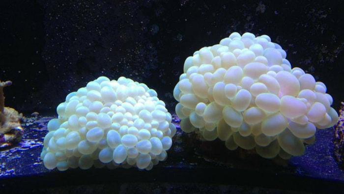 Plerogyra sinuosa corallo a bolle
