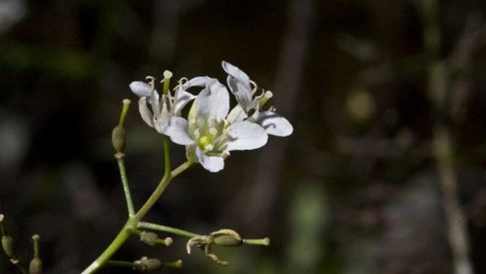 Rorippa Aquatica fiore