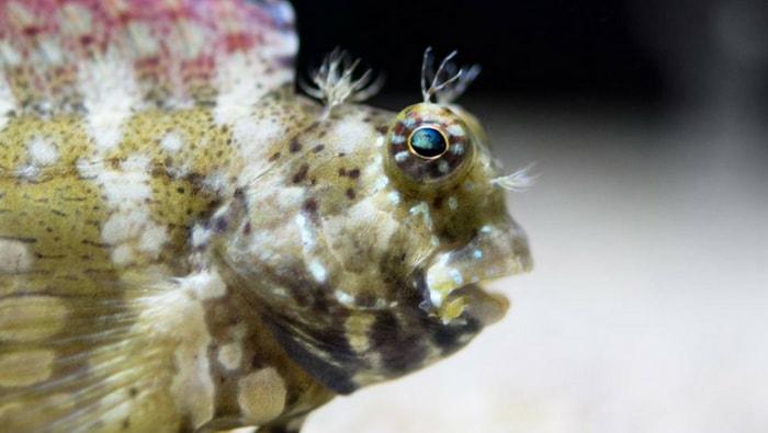 Salarias fasciatus o Bavosa striata: un pesce divertente con un'utilità imprevedibile