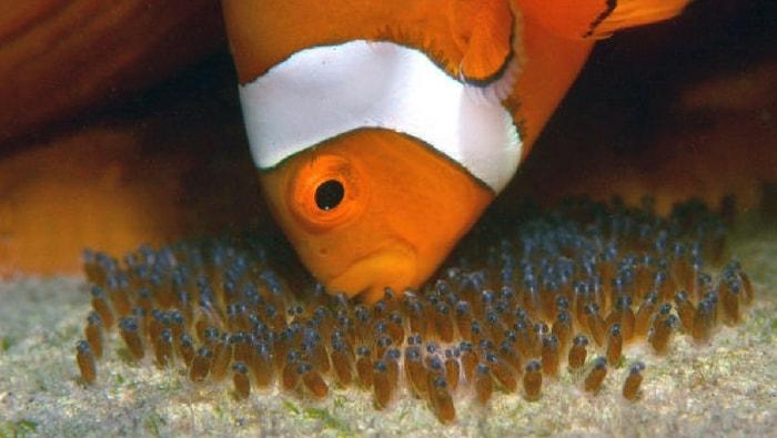 riproduzione dei pesci pagliaccio