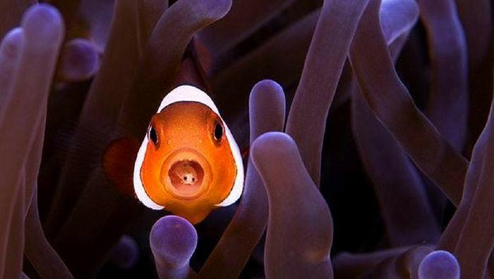 simbiosi tra pesce pagliaccio e anemone