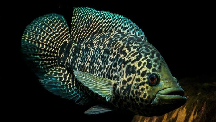 Parachromis managuensis ciclide