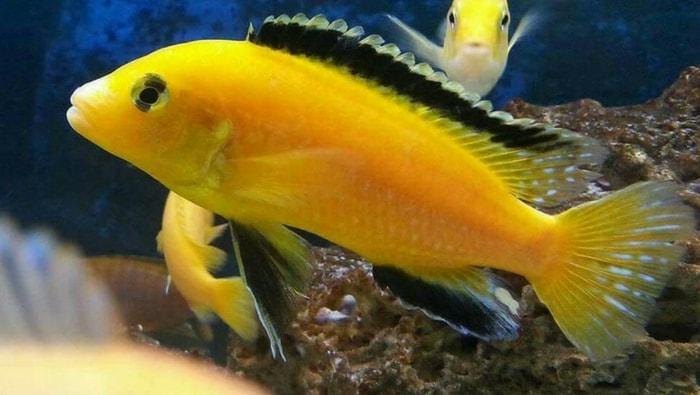 livrea di Labidochromis caeruleuso Lion's cove