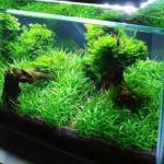 Pratino in acquario: hai mai provato con la Lilaeopsis Brasiliensis?