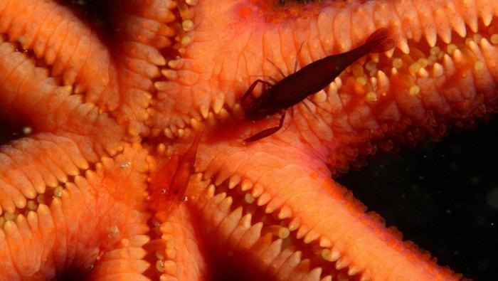 Periclimenes soror nella stella marina cornuta