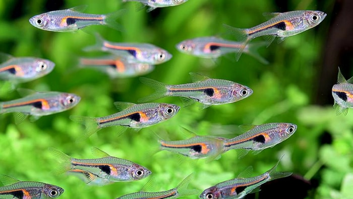 Trigonostigma hengeli, il pesce perfetto se vuoi un grande branco in acquario