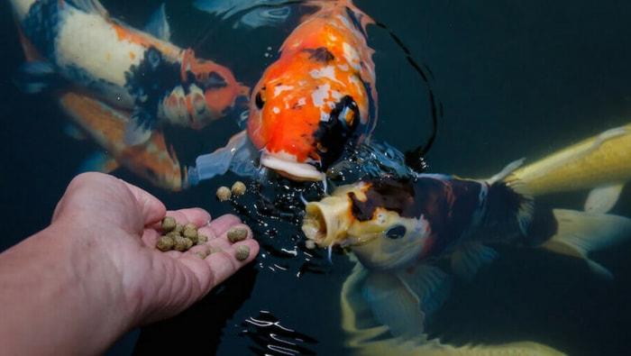 Come conservare nel migliore dei modi il cibo secco per pesci
