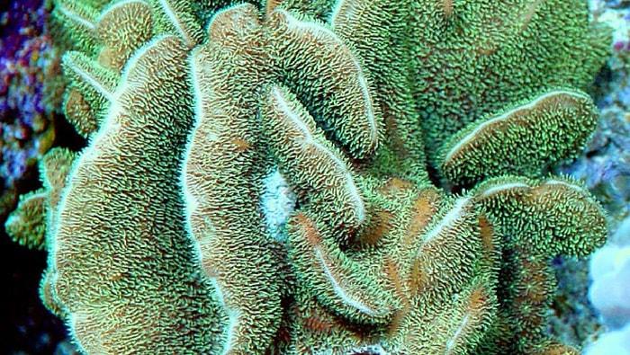 corallo pavona spp.