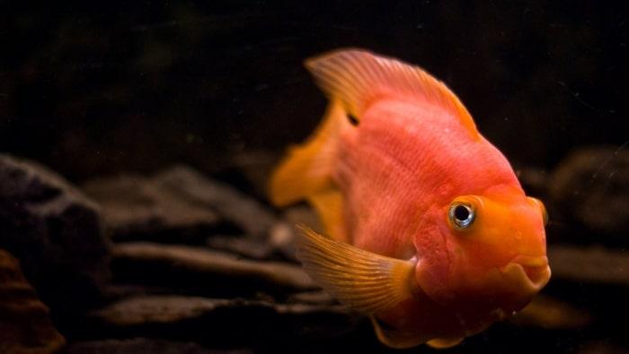 Cichlasoma red parrot, il Frankenstein dell'acquariofilia
