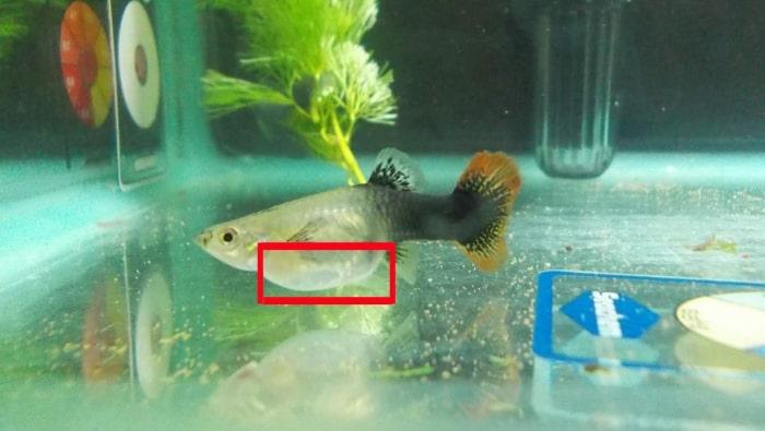 Sala Parto Guppy : Guppy incinta: come capirlo e come far partorire i guppy in acquario