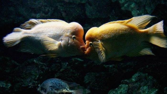 Amphilophus citrinellus duello