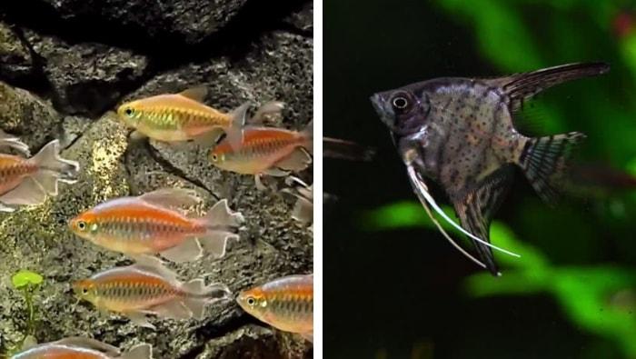 acquario olandese pesci
