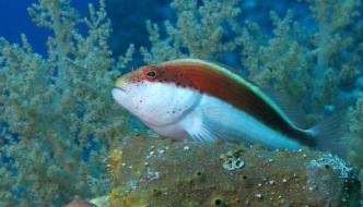 Paracirrhites forsteri: un pesce falco diverso dagli altri