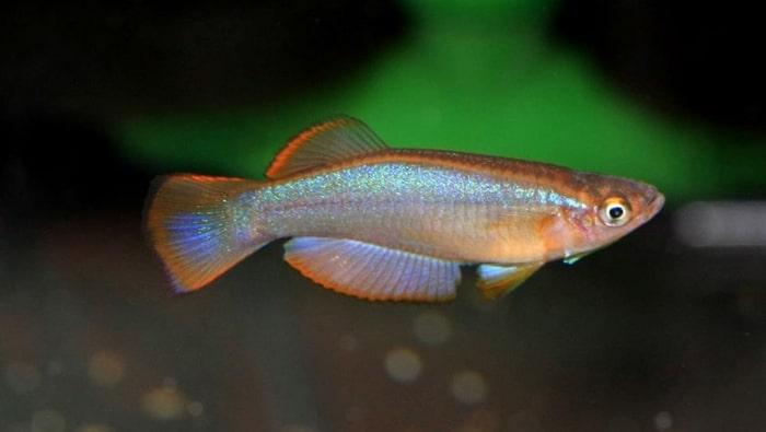 Procatopus similis