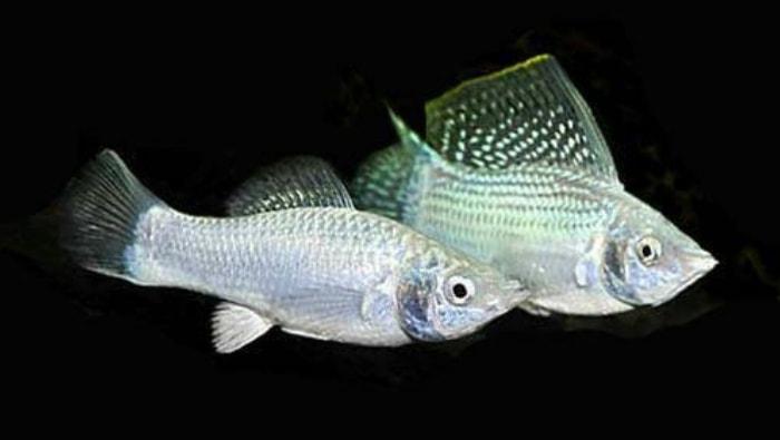 pesci Molly Sailfin