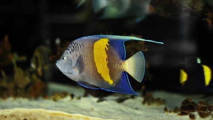 Pomacanthus maculosus in acquario