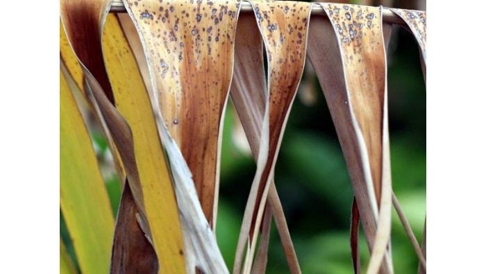 foglie di banano