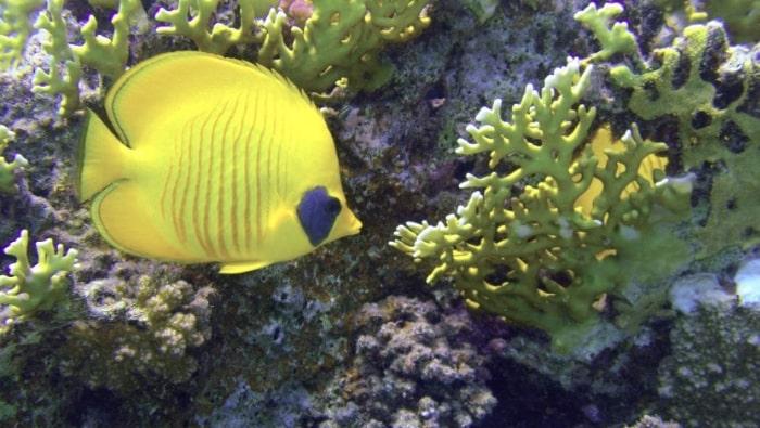 pesce farfalla mascherato