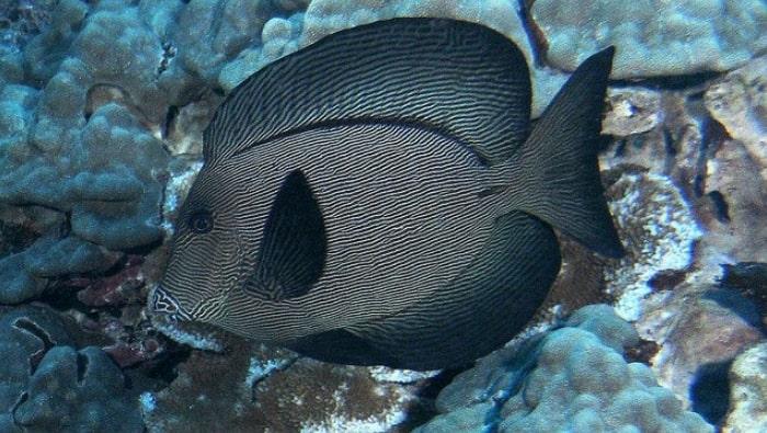 Ctenochaetus hawaiiensis