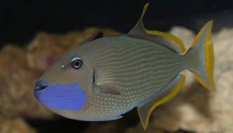 xanthichthys auromarginatus