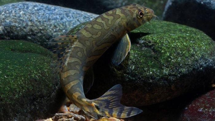 Nemacheilus triangularis (ex Mesonoemacheilus triangularis