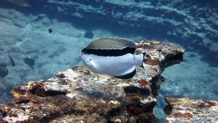 Apolemichthys arcuatus, pesce angelo bandito