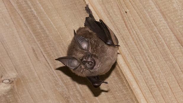 Hallan parientes del coronavirus en murciélagos congelados en laboratorios de Japón y Camboya