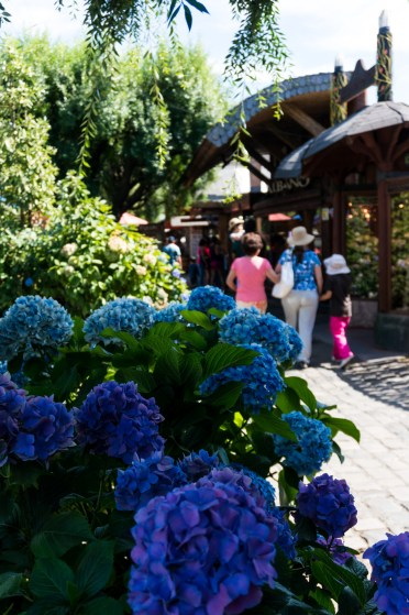 Typical streets in Pucon...blue hydrangeas are prolific here.