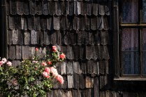 Rose bushes are abundant in the streets in south of Chile