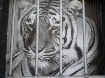 unnamed tigre