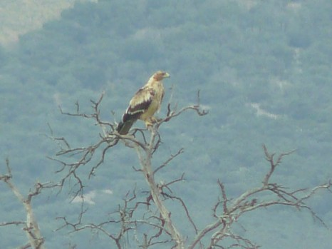 Joven de Águila imperial. Foto: Virgilio Beltrán