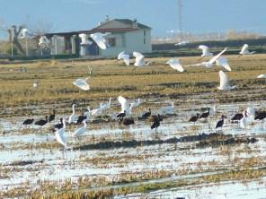 Bando mixto de Moritos (Plegadis falcinellus) y Garceta común (Egretta garzetta) / Glossy ibis and Little Egret