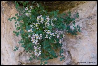 Rompepiedras, orella de ratolí, orelleta de roca, corets, ... (Sarcocapnos saetabensis) endemismo valenciano.