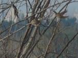 Gorrión molinero