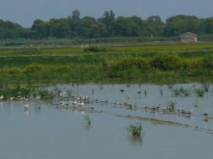 Aves concentradas en campos no cultivados entre los arrozales en el parque natural de la Albufera