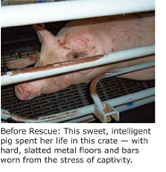 Mother sow in factory farm.