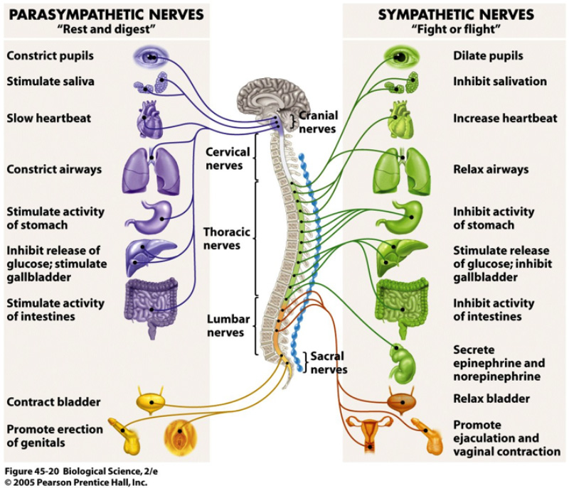 Image result for parasympathetic nervous system and sympathetic nervous system