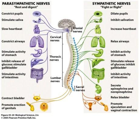 Image result for autonomic nervous system sympathetic
