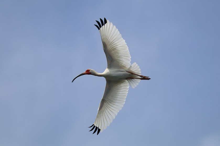 """Can I ever do Alexander Technique myself?"" Can I have the independence of this flying white ibis?"
