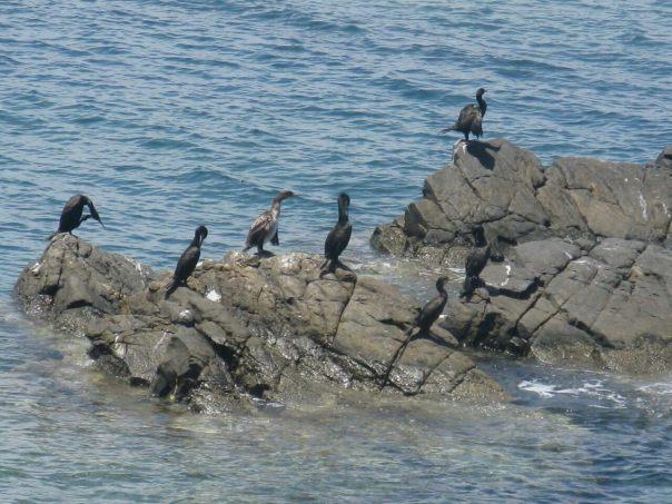 image.Cormorants