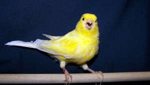 Canary on Perch