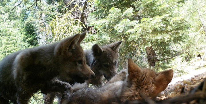 Gray Wolf Wanders into Sierra Nevada Mountains for the First